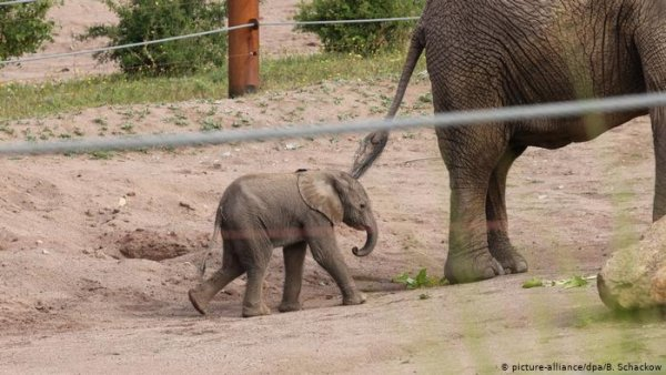 Elephant baby born in German zoo takes first steps
